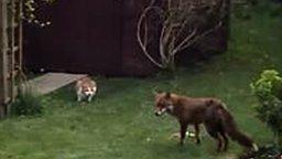 Два кота против лисы смотреть видео прикол - 0:50
