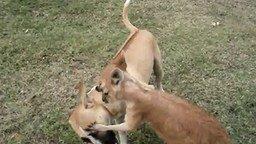 Смотреть Кенгуру играет с собакой