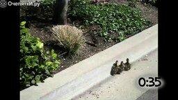 Смотреть Утята следуют за мамкой