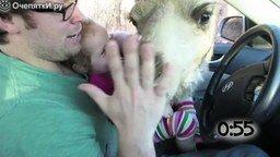 Смотреть Любопытные животные лезут головой в машину