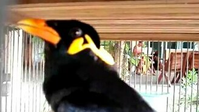 Интересная птичка-пародистка смотреть видео прикол - 0:44