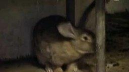 Кролик-гигант смотреть видео прикол - 1:44