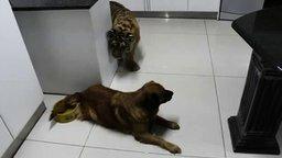 Смотреть Собака против тигрёнка