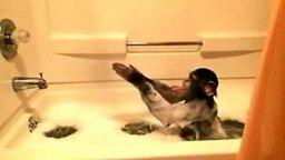 Смотреть Шимпанзе принимает ванну