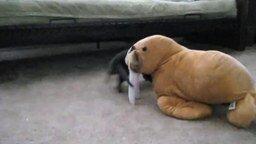 Смотреть Выдра играет с моржом