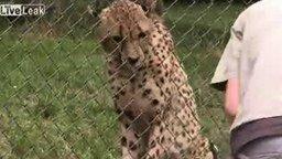 Смотреть Гепарды-попрошайки