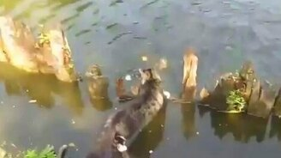 Кот рыболов смотреть видео прикол - 0:48