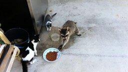 Смотреть Енот ворует еду у кошек
