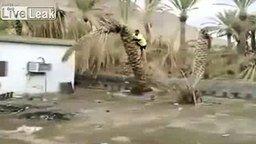 Смотреть Сломал пальму своим весом