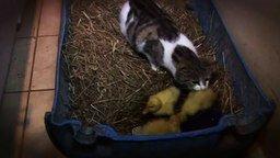 Смотреть Кошка вырастила утят