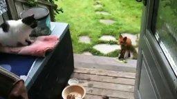 Смотреть Лиса, кошка и еда между ними