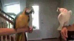 Два друга попугая смотреть видео прикол - 1:36