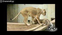 Животные делают подлянку друг другу смотреть видео прикол - 0:55