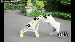 Собаки гуляют с колясками смотреть видео прикол - 0:55