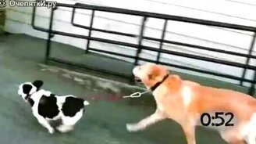 Смотреть Собаки выгуливают собак
