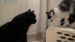 Как познакомить двух котов смотреть видео прикол - 2:46