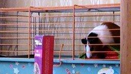 Свинка падает во сне смотреть видео прикол - 0:11