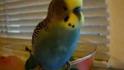 Смотреть Патриотичный попугайчик