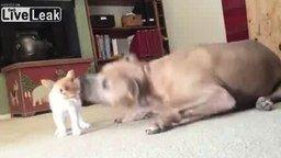 Котёнок против огромного пса смотреть видео прикол - 0:47