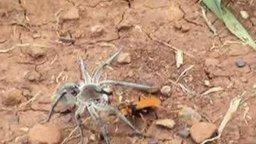Битва паука и земляной осы смотреть видео прикол - 1:57