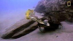 Рыбы против черепахи смотреть видео прикол - 1:04