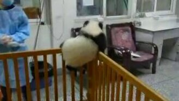 Смотреть Малыш панды пытается сбежать