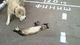 Смотреть Кот не дотянул до финиша