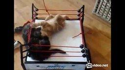 Битва котят на ринге смотреть видео прикол - 1:08
