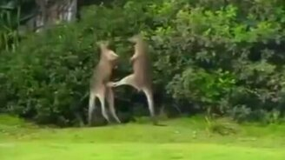 Поединок двух кенгуру смотреть видео прикол - 1:30