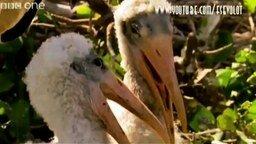 Смотреть Пеликаны ржут над тобой