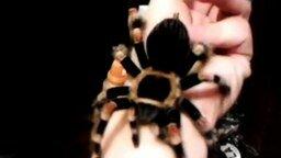 Смотреть Мой паук-птицеед