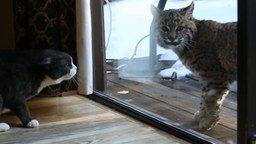 Смотреть Кот против рыси
