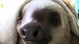Смотреть Смешные ленивцы