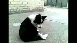 Собака и её хвост смотреть видео прикол - 0:52