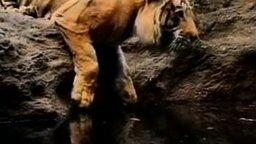 Смотреть Тигр против воды