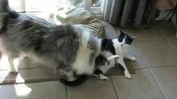 Смотреть Кот и пёс играются и резвятся