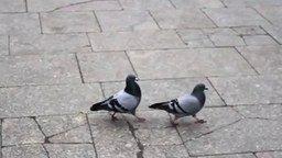 Смотреть Ритмичные голуби