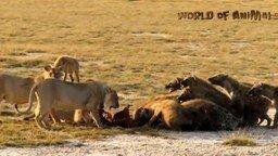 Смотреть Схватки животных в дикой природе