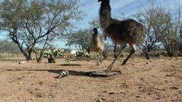 Смотреть Танго страуса с мячиком
