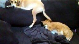 Смотреть Собака не даёт коту спать