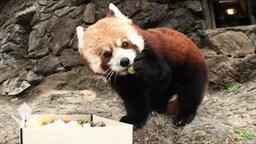 Смотреть Маленькая красная панда