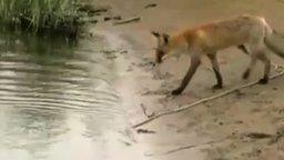 Смотреть Лисица тащит сома из воды