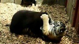 Смотреть Кто сильнее: тигр или медведь?
