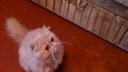 Смотреть Чихающий котёнок