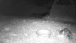 Ночной триллер: кошка против лисы смотреть видео прикол - 0:30