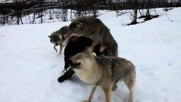 Волки помнят добро смотреть видео - 1:55