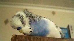 Смотреть Очень говорливый попугай