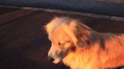 Собака-сирена смотреть видео прикол - 0:29