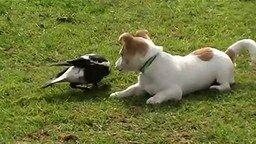 Смотреть Щенок играет с птицей