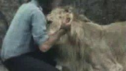 Смотреть Встреча со львом после разлуки